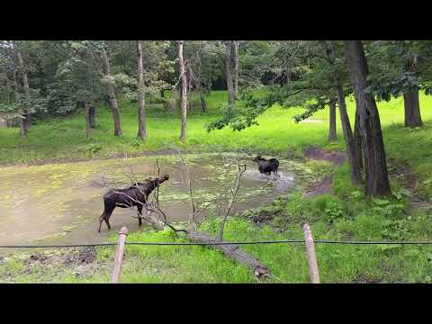 Two Mooses in the lake and their enclosure
