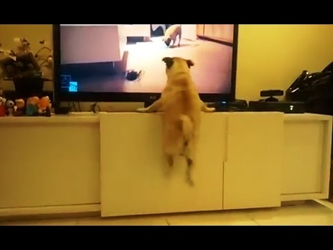 Excited Dogs Watching TV Compilation