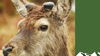Summer deer management - A Year in the Life of Highland Sport part 2