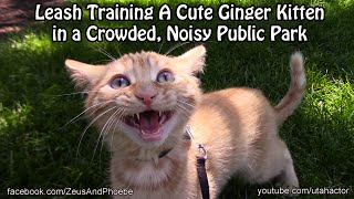 Leash Training A #cute Meowing #ginger #kitten