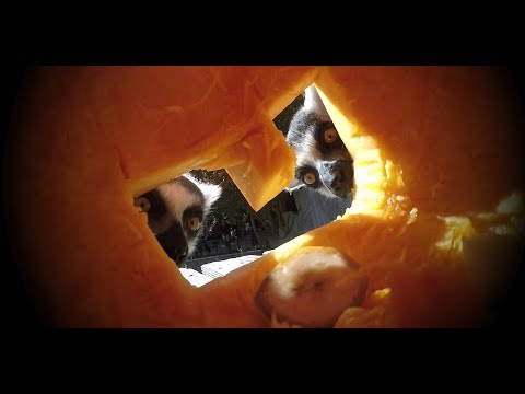 Happy Halloween from the Smithsonian's National Zoo's Lemurs