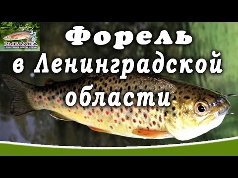 Форель в Ленинградской области. Рыбалка в области. (июль 2019)