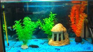 неон как аквариумная рыбка