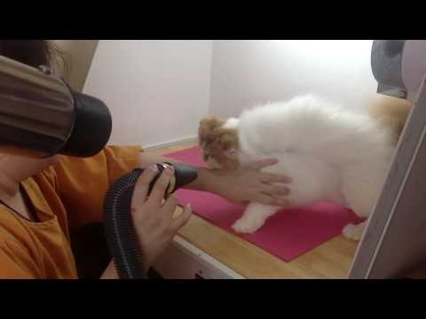 How To Bath A Show Cat - by Breeder Care™ Co., Ltd.