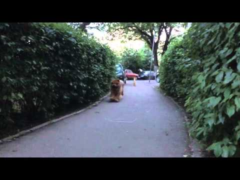 Rascal, chow chow dog, running in slow motion