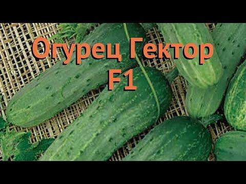 Огурец обыкновенный Гектор F1 (gektor f1) 🌿 Гектор F1 обзор: как сажать, семена огурца Гектор F1