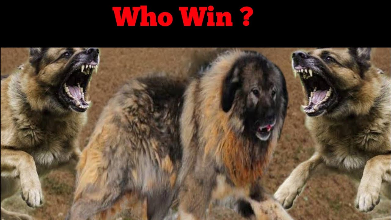 2 German Shepherd VS Caucasian Shepherd Who Is powerfull ? [in Hindi] | Real story - Dogs Biography