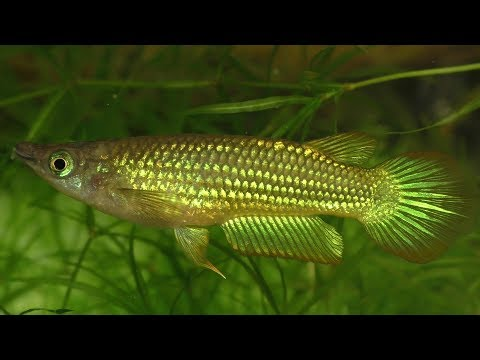 Golden Wonder Killifish Jumping Out Of The Water To Catch Crickets