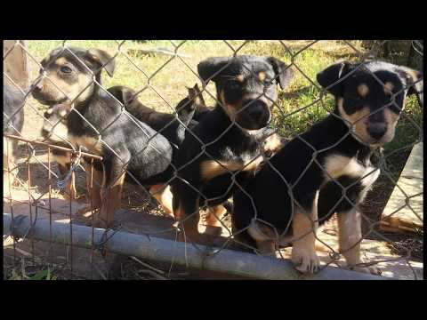 Nandi Working Dogs Pups. Kelpie pups bred for cattle work. Ring Bill: 0429 099 794