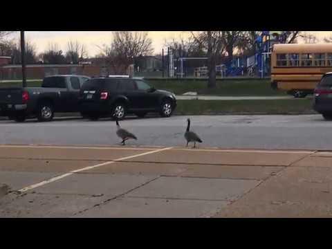 Geese  at Cross Keys middle school