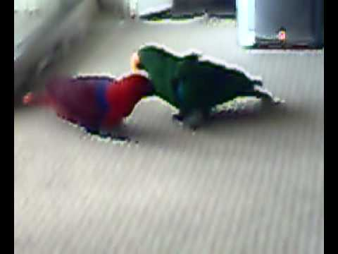 Eclectus parrot pair playing