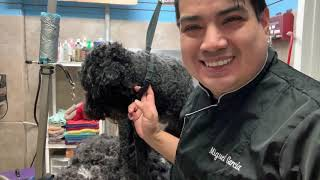 Grooming a Portuguese water dog in Queens NY
