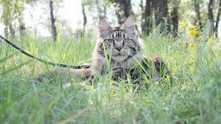 Как рулить котом?  прогулка с мейн-куном ,Maine Coon (Animal Breed),  питомник ЛИРИКУМ