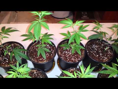 How to grow cannabis in coco. Week 1 vegetation feeding