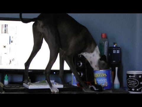 A very bad dog (kleptomaniac greyhound!)