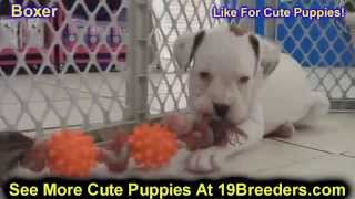 Boxer, Puppies, For, Sale, In, Weirton, West Virginia, Wv, Kanawha, Monongalia, Cabell, Wood, Raleig