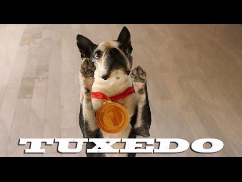 The amazing Boston Terrier