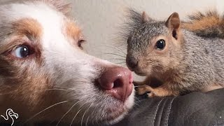 Rescue Squirrel Loves Cuddling With His Dog