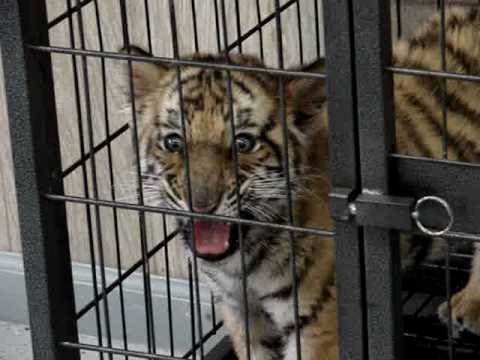 Baby tiger roar youtube - Tiger in cage images ...