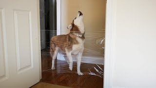 My Siberian Husky's Reaction to the Invisible Wall Challenge