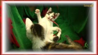 Christmas-kitten 2011 -- Youngstars Des Tierschutzvereins Hannover