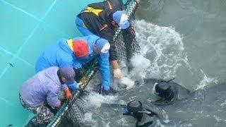 <b>Japonya</b>'nın geleneksel yunus balığı avına çevrecilerden tepki ...