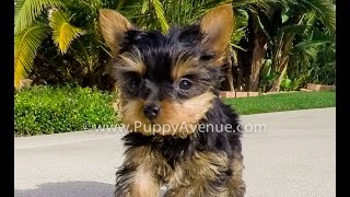 Phoebe Our Tiny Mini Yorkie Female Yorkshire Terrier Pup For Sale San Diego