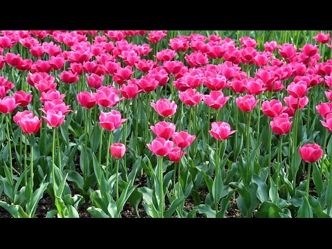 Тюльпаны: выращивание, уход, размножение