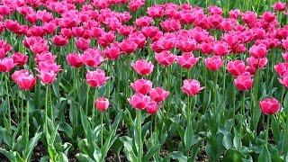 видео Как вырастить тюльпаны из луковиц и семян?