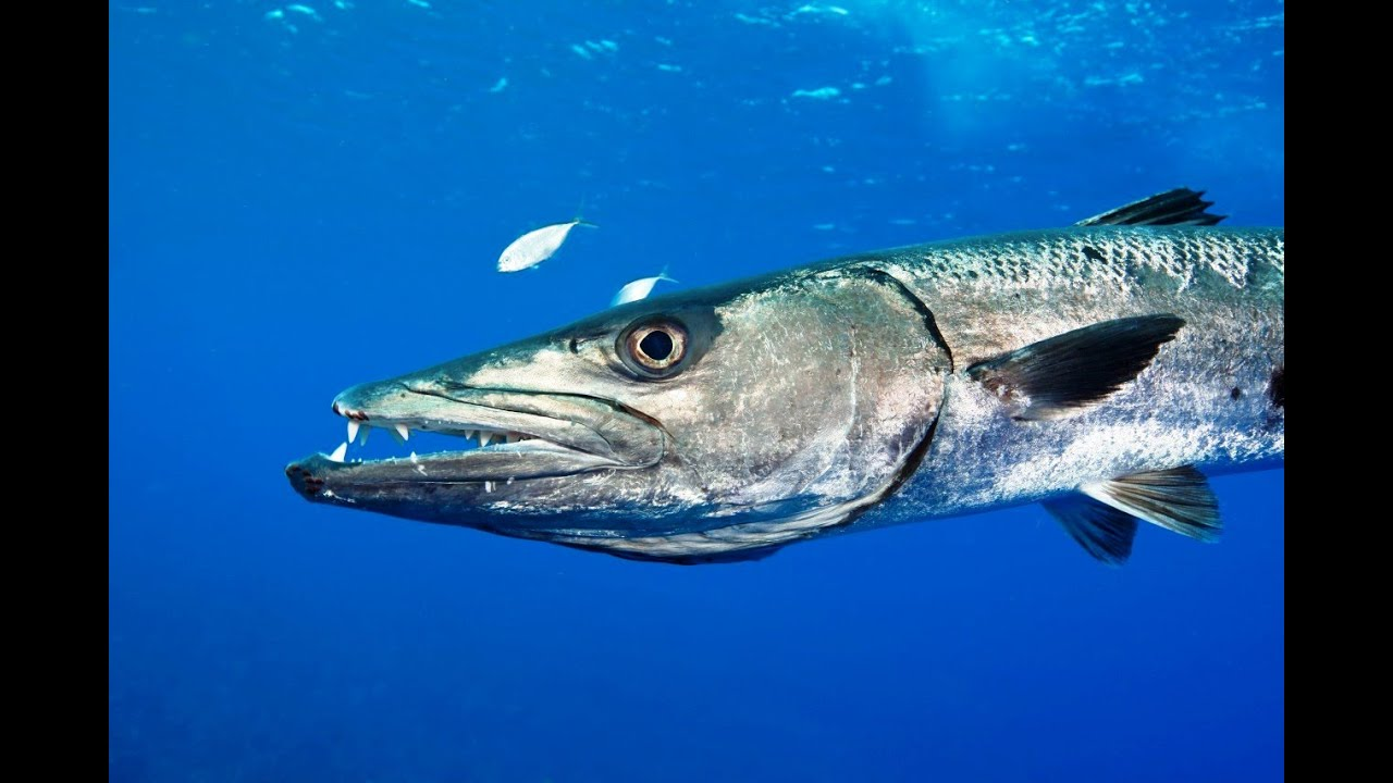 Pesca submarina un barracuda en aguas poco profundas for Are fish biting today
