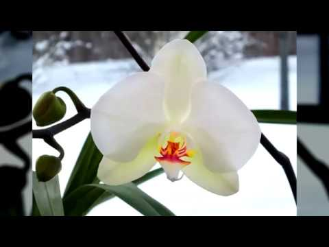 Как Поливать Орхидею Зимой и нужно ли Пересаживать?