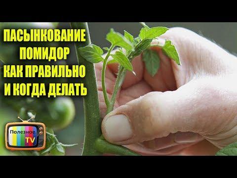 Как удалять пасынки на помидорах видео