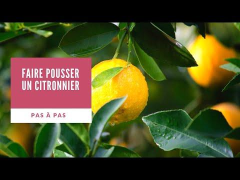 Rempotage et taille d 39 un citronnier 4 saisons citrus doovi - Faire pousser un citronnier ...