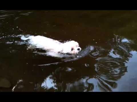 Gilboa Swimming - Cute Maltese Dog