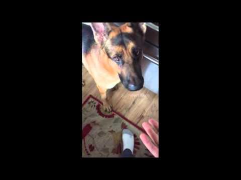 German Shepherd Telling Owner He's Hungry