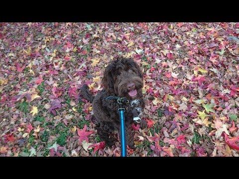 Amy - Australian Labradoodle - 3 Weeks Residential Dog Training