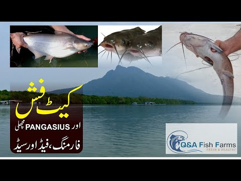 Cat Fish & Pangasius  Fish Farming By Syed Adeel Gillani. Video 29