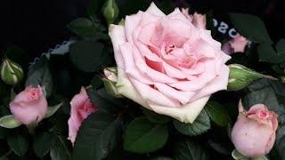 Как выбрать розу - это ВАЖНО!!!! Обзор покупок из Леруа.