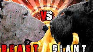 Bully Kutta vs Giant Schnauzer | Giant Schnauzer vs Bully Kutta | Powerful Guard Dog | Billa Boyka |
