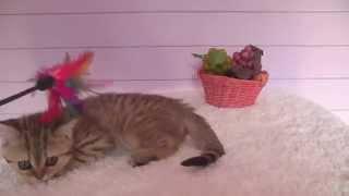 Шотландская кошечка Золотого пятнистого окраса Питомник Элитных кошек SuperFold