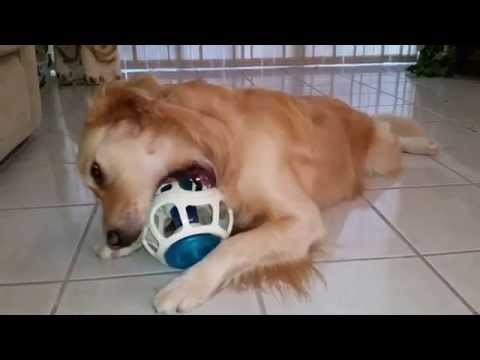 cute-dog-playing-with-his-new-jw-pet-toys-rockin-treat-ball---english-cream-golden-retriever