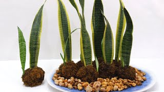 Growing Snake Plants in Kokedama Balls and Decorate for Dining and Patio Table
