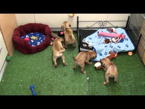 Little Rascals Uk breeders New litter of Pugalier puppies - Puppies for Sale 2015