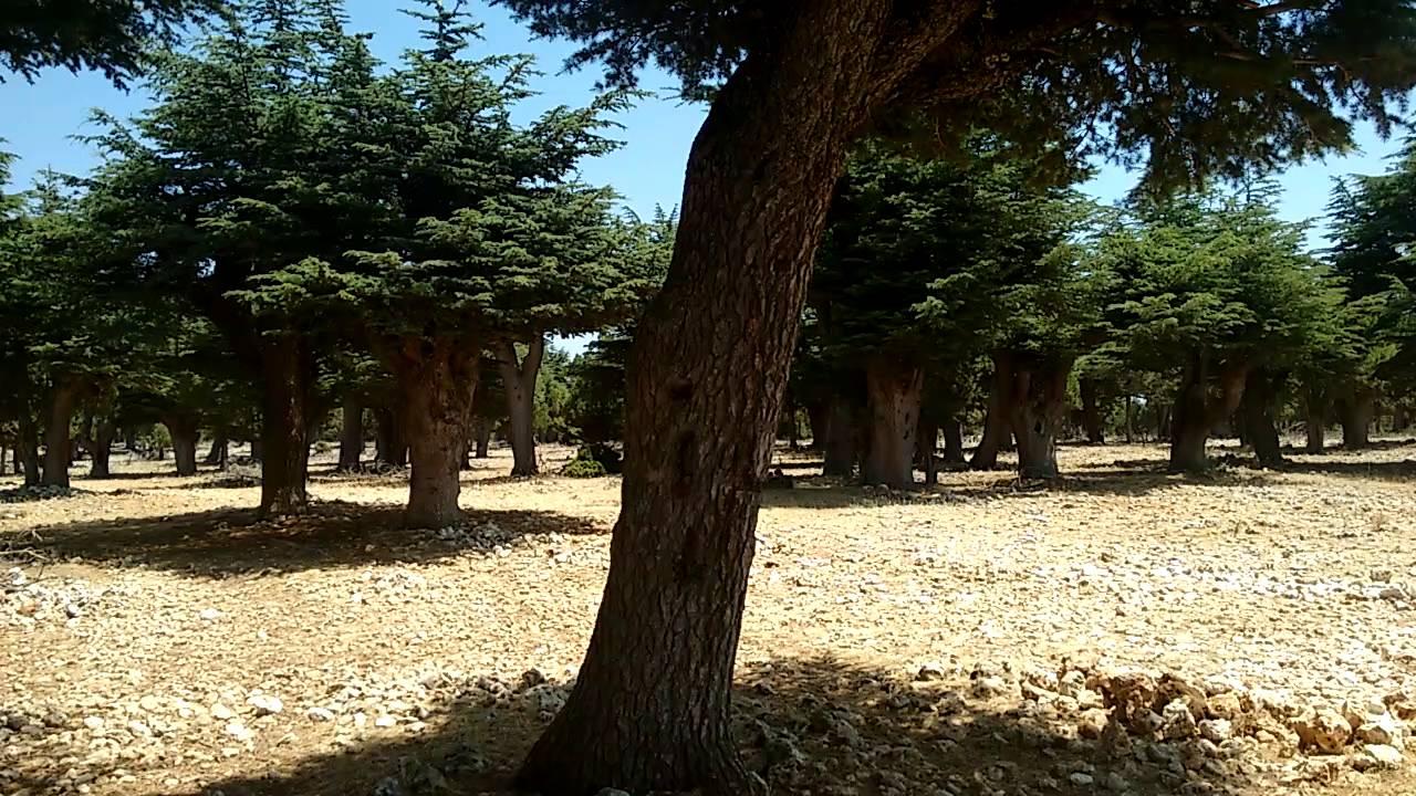 Sedir Ağacı Ormanı Katran Ağacı Lübnan Sediri Türk Sediri