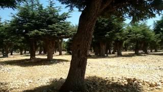 Sedir Ağacı Ormanı - Katran Ağacı - Lübnan Sediri - Türk Sediri