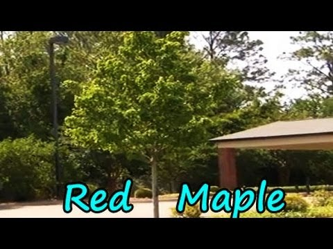 *Plant Red Maple Tree* +Fast Growing Tree List+Best Shade Trees+
