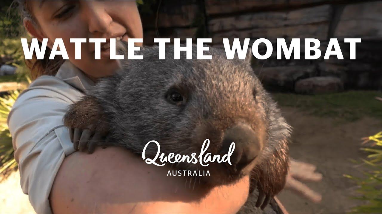 Meet Wattle The Wombat At Australia Zoo Youtube