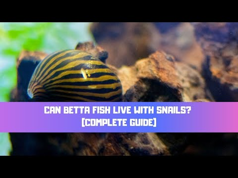Can Betta Fish Live With Snails? (What Snails Can Live With Betta Fish?) TOP 5 SNAILS
