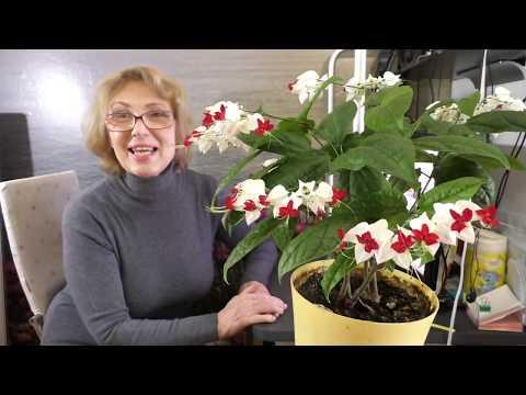 Клеродендрум Томпсон- используй эти секреты, и будешь восхищен его цветением