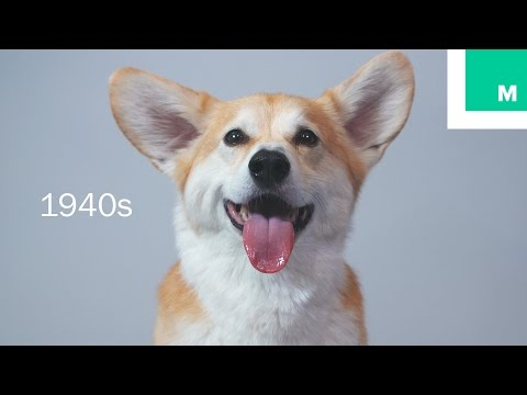 100 Years of Corgi Beauty in 60 Seconds